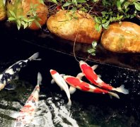 锦鲤鱼养殖方法和技巧?