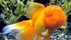狮子头金鱼怎么养有哪些技巧?