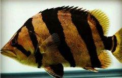 泰国虎鱼常见病肠炎怎么治疗预防?