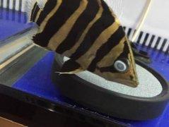 泰国虎鱼常见病蒙眼怎么治疗?