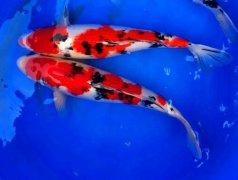 锦鲤鱼常见病打印病哪家