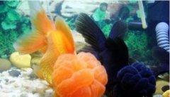 金鱼网讲金鱼为什么养单不养双六点