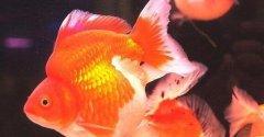 文种金鱼特点有哪些?