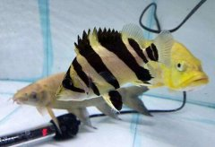 泰国小虎鱼吃什么长得快?