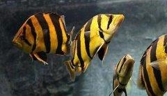 虎鱼变色是什么原因?