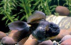 什么金鱼好养有哪些技巧?