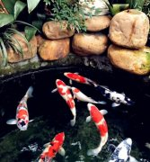 锦鲤鱼的养殖方法和养殖