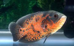 地图鱼水温控制在多少度?