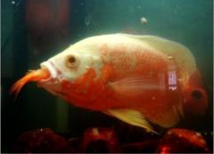 地图鱼能长多大需要多久?