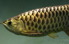 龙鱼之巅谈过背金龙鱼喂食饲养?