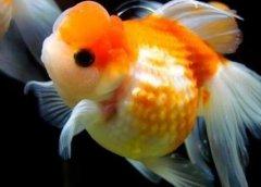 金鱼网谈什么金鱼好养有哪些技巧?