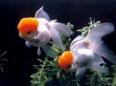 养金鱼的方法和技巧有哪些?