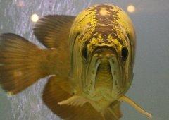 金龙鱼喂什么有助于发色?