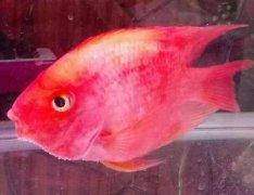 为什么鹦鹉鱼变白会死吗?