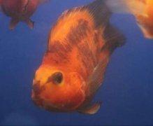 鹦鹉鱼常见病鹦鹉鱼变黑了怎么恢