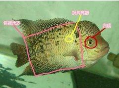 泰金罗汉鱼怎么辨别有哪些特点?