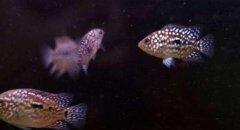 德萨罗汉鱼怎么辨别怎么挑选?