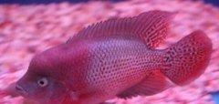 珍珠罗汉鱼能长多大会起头吗?