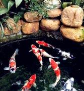 锦鲤养殖的条件有哪些?
