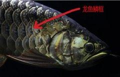 金龙鱼鳞框怎么看?