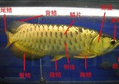 金龙鱼的外部结构是什么构成?