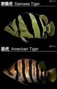 虎鱼品种区别有哪些不同?