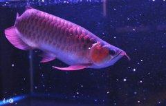 金龙鱼怎么养才长的漂亮