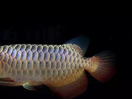 金龙鱼多少钱一条_目前市场上的金龙系龙鱼分为:宝石高背B过过背
