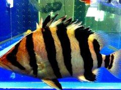 泰国虎鱼和越南虎鱼的区分方