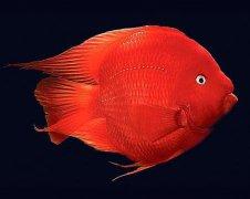 鹦鹉鱼繁殖产卵吗?