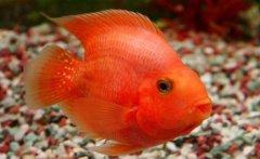 养鹦鹉鱼水温多少度合适?