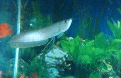 银龙鱼常见水霉病怎么治疗?