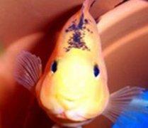 鹦鹉鱼常见病之黑斑病和治疗