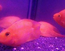 鹦鹉鱼常见病之白点病和