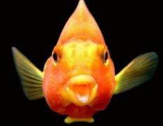 鹦鹉鱼常见病之烂腮病和