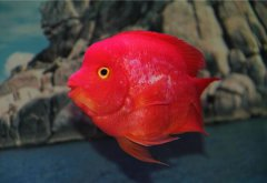 鹦鹉鱼价格多少钱一条市