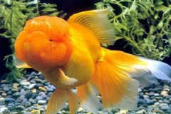 家里喂养金鱼的方法注意哪些