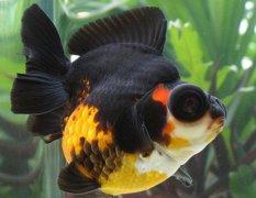 金鱼常见病之白点病治疗