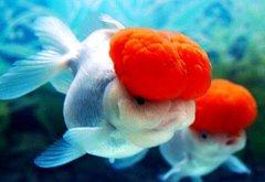 金鱼常见疾病之纤毛虫病治疗