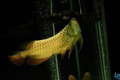 金龙鱼受惊吓怎么办?