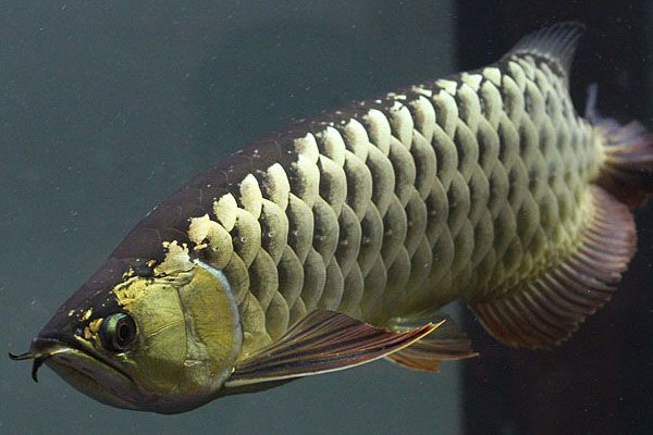 金龙鱼多少钱一条_高背金龙鱼多少钱一条20cm左右在1200-1500。