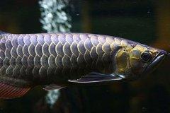 金龙鱼高背过背哪个好怎么区分?