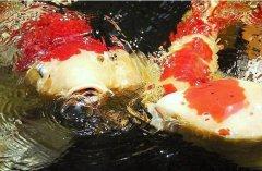 锦鲤和什么鱼可以混养?
