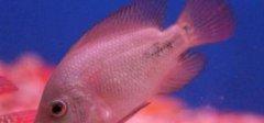 鹦鹉鱼眼睛凸出来是什么