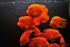 鹦鹉鱼的寿命有多长?