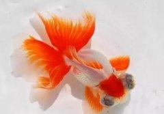 金鱼养几条好?