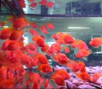 红鹦鹉鱼怎么养?