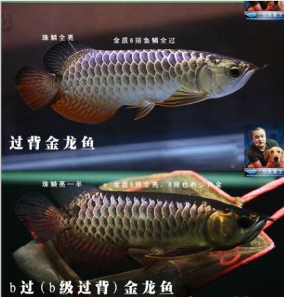 b过背金龙鱼价格_b过金龙鱼与过背金龙鱼的区别--对比图: