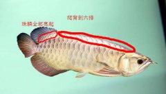 b过金龙鱼与过背金龙鱼的区别?这几
