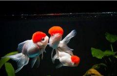 金鱼换水多久一次注意什么?